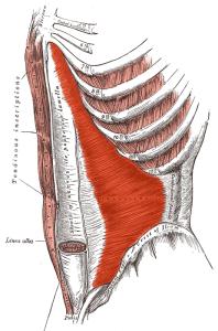 transverse muscle abdos