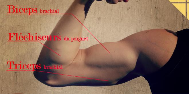 anatomie bras biceps triceps flechisseurs poignets