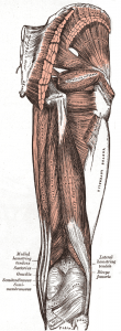 ischio jambiers anatomie