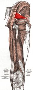 muscle fesse piriforme